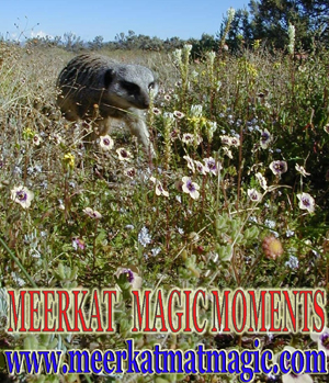 Meerkat Magic Moments 0025.jpg