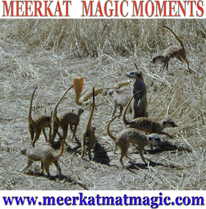 Meerkat Magic Moments 0026.jpg