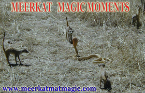 Meerkat Magic Moments 0028.jpg