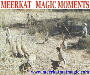 Meerkat Magic Moments 0029.jpg
