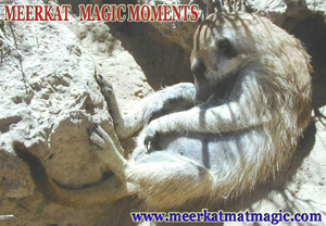 Meerkat Magic Moments 0035.jpg