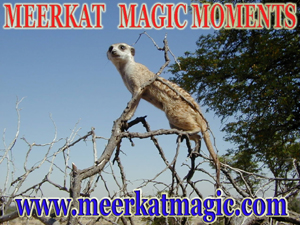 Meerkat Magic Moments 0052.jpg