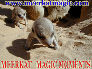 Meerkat Magic Moments 0056.jpg