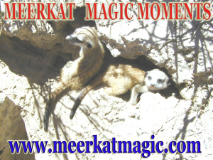 Meerkat Magic Moments 0060.jpg