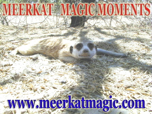Meerkat Magic Moments 0062.jpg