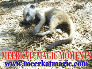Meerkat Magic Moments 0063.jpg