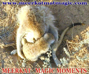 Meerkat Magic Moments 0071.jpg