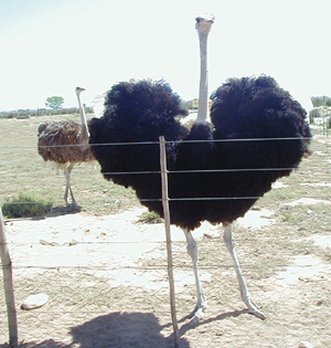 Male Ostrich Display 2