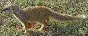 Mongoose 9